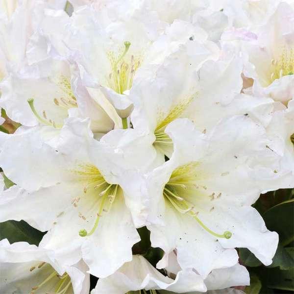 Rhododendron INKARHO Weiße Dufthecke