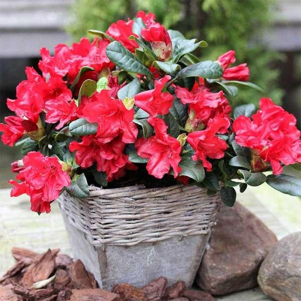 Zwerg-Rhododendron Scarlet Wonder