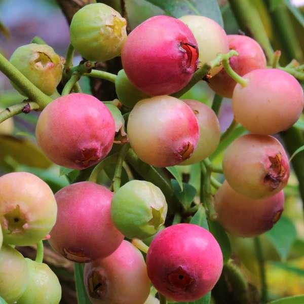 Heidelbeere-Vaccinium-corymbosum-Pink-Berry-01