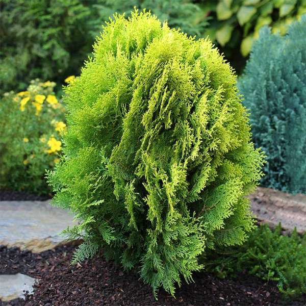 Morgenländischer Lebensbaum Aurea Nana