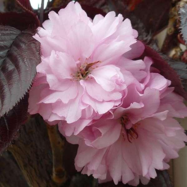 Japanische-Nelkenkirsche-Prunus-serrulata-Royal-Burgundy-Blüten