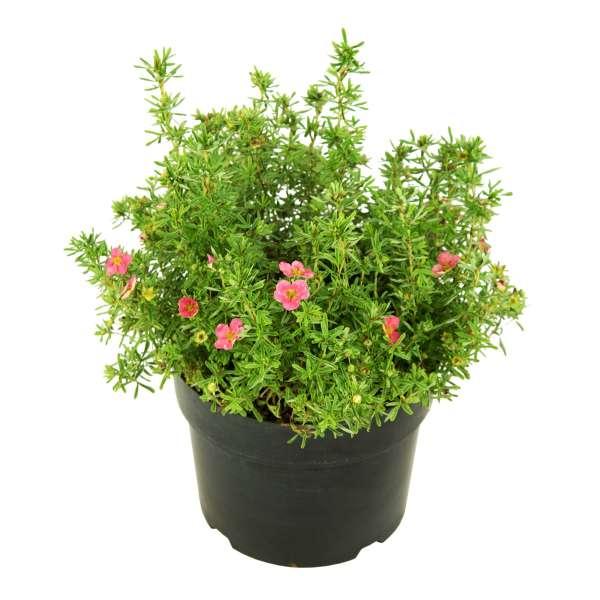 Fingerstrauch-Potentilla-fruticosa-Bellissima-C5-30-40