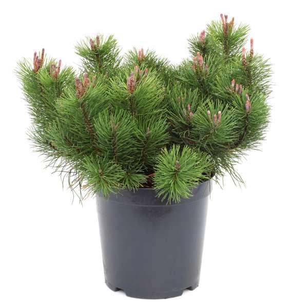 Krummholzkiefer-Pinus-mugo-mughus-01