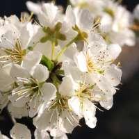 Zwergpflaume-Prunus-domestica-Hanna-02
