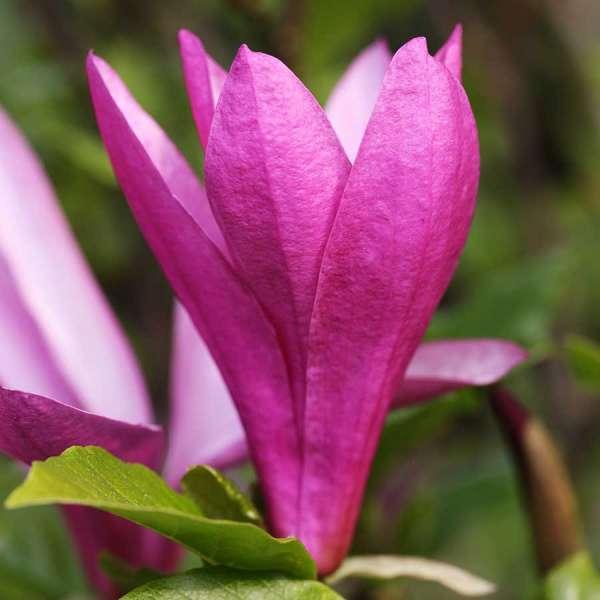 Purpur-Magnolie Susan Blüten 01