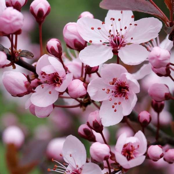 Blutpflaume-Prunus-cerasifera-Nigra-02