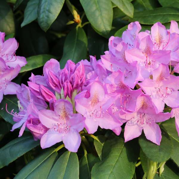 Rhododendron Hybride English Roseum