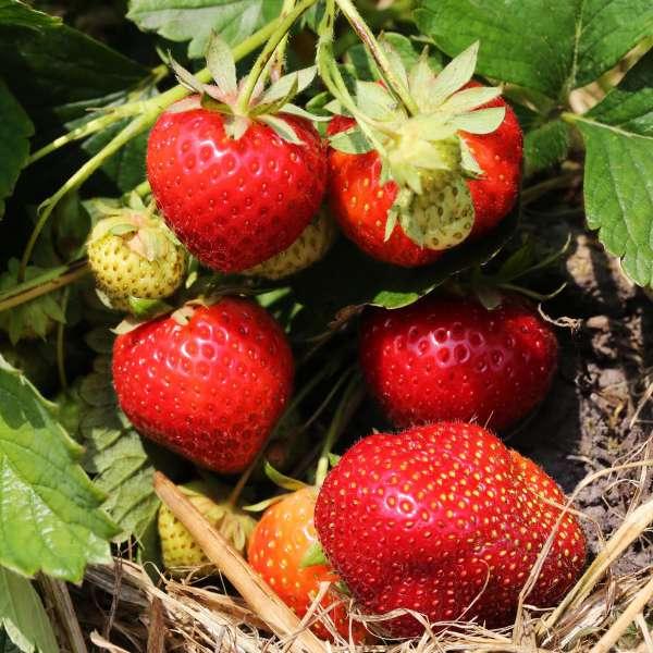 Erdbeere-Fragaria-Mara-de-Bois-01