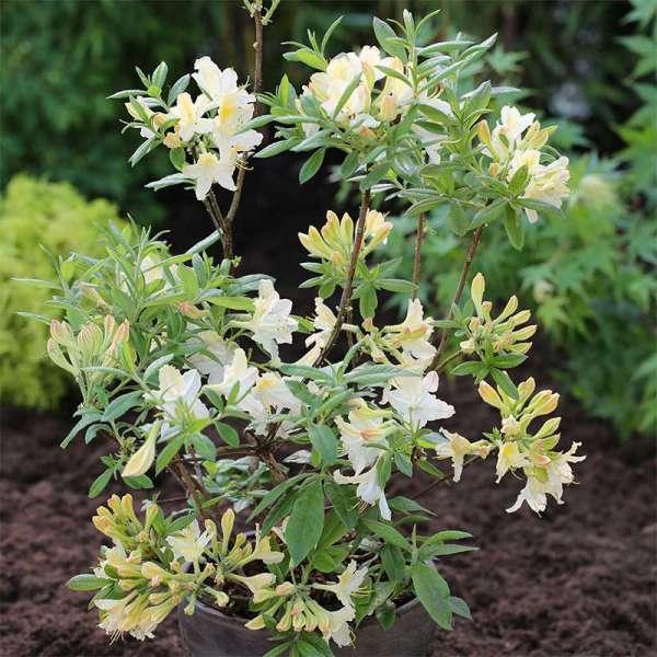 Sommergrüne Azalee Daviesii