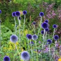 Echinops-ritro-Veitchs-Blue-01
