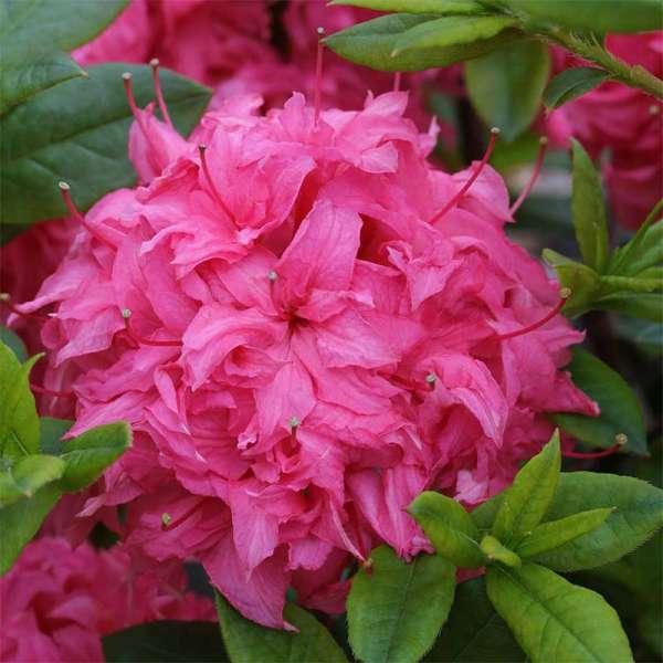 Sommergrüne Azalee Homebush