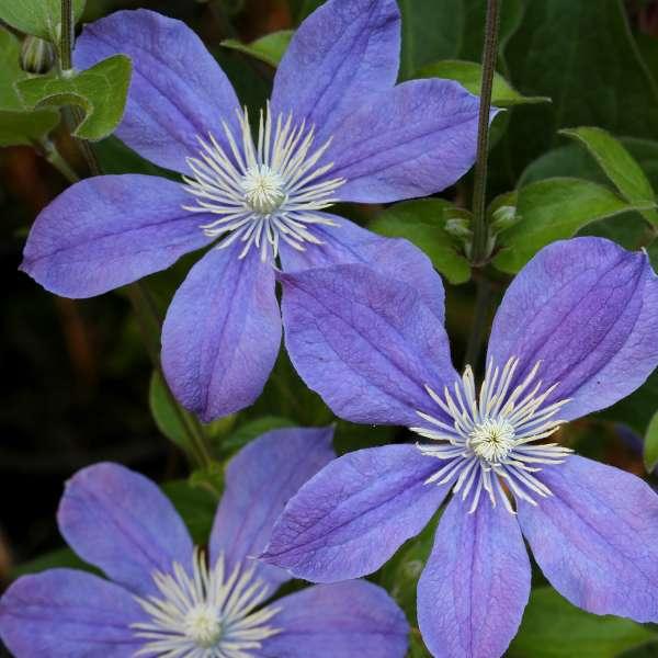 Waldrebe-Clematis-integrifolia-Arabella-01