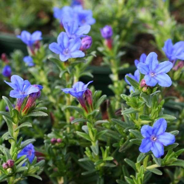 Steinsame-Lithodora-diffusa-Heavenly-Blue-01