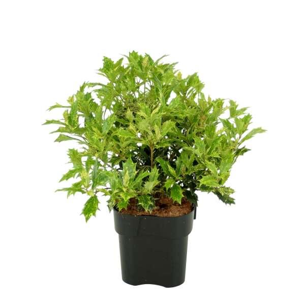 Osmanthus-heterophyllus-Tricolor-C2-20-25