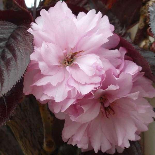 Japanische Nelkenkirsche Royal Burgundy