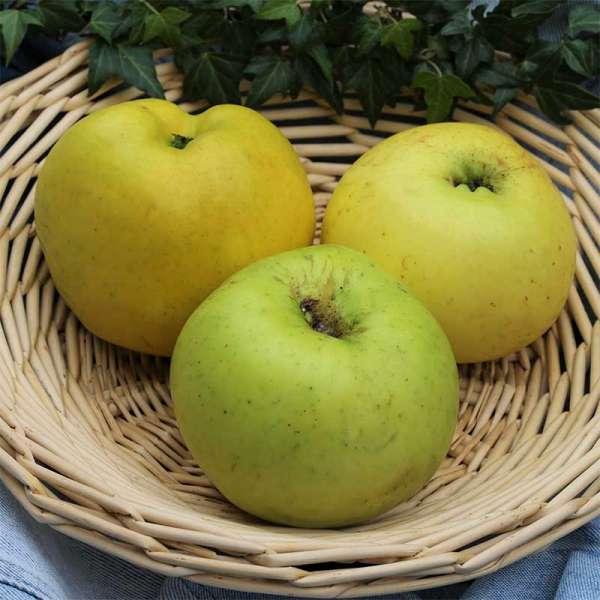 Herbstapfel Grahams Jubiläumsapfel