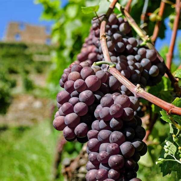 Blaue Weintraube Erdbeertraube