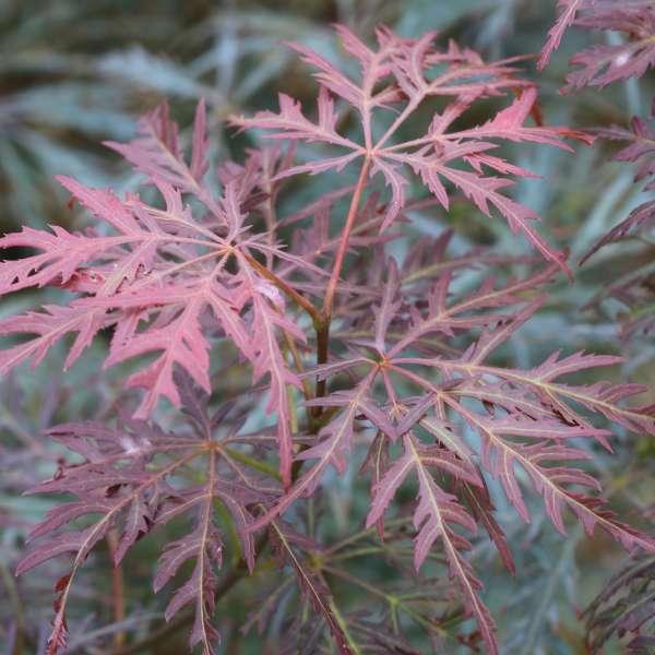 Schlitzahorn-Acer-palmatum-Dissectum-Inanba-Shidare-01
