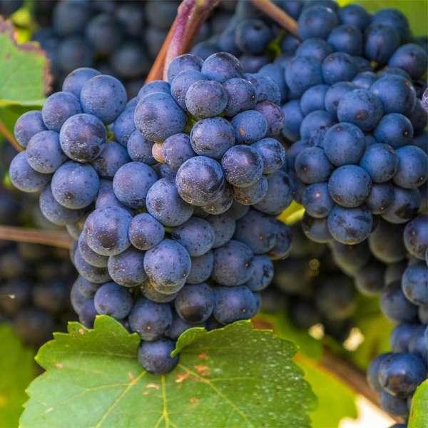 Blaue Weintraube Nero