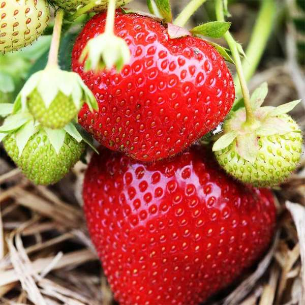 Mittelfrühe Erdbeere Korona