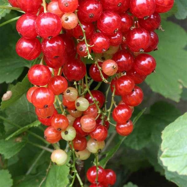 Rote Johannisbeere Rodneus