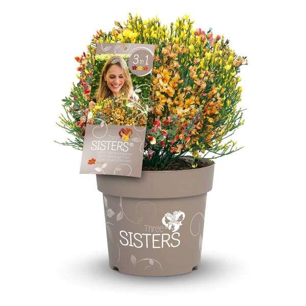 Cytisus-Three-Sisters-Packshot