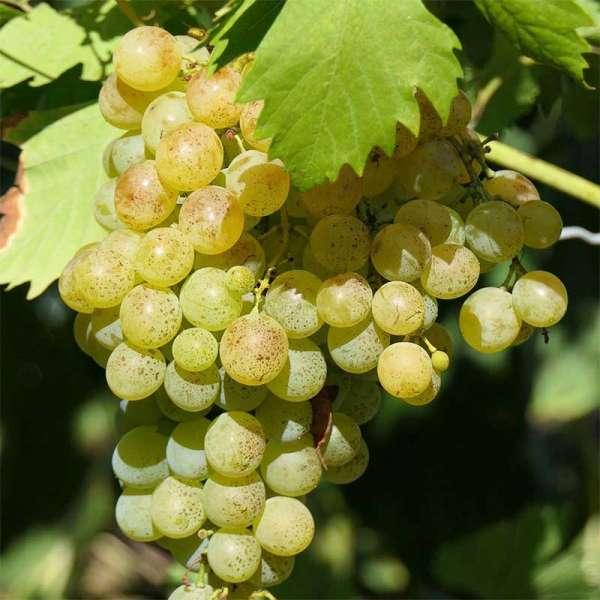 Gelbe Weintraube Primus