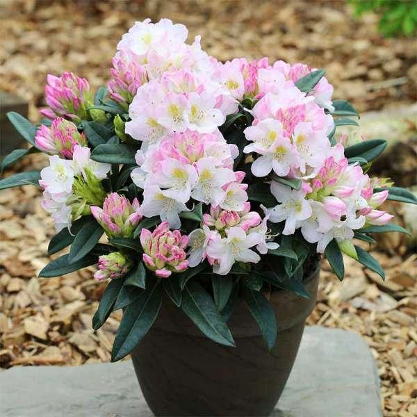 Rhododendron Brigitte