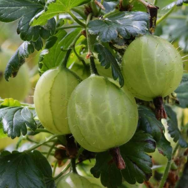Ribes-uva-crispa-Karlin-D1