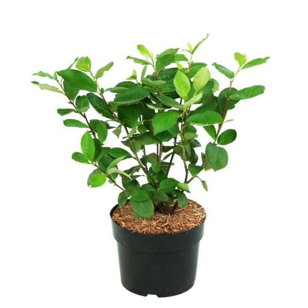Aronia prunifloria Aron C4_6-50-60