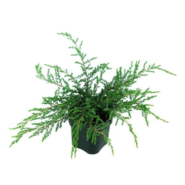 Kriechwacholder-Juniperus-communis-Repanda-C2-25-30