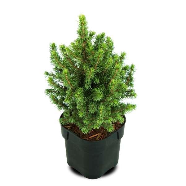 Zuckerhutfichte-Picea-glauca-J.-W.-Daisys-White-C2-15-20