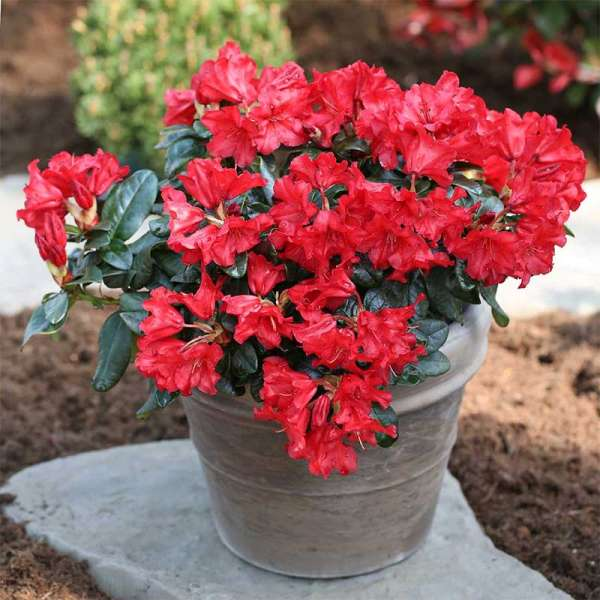 Zwerg-Rhododendron Abendrot