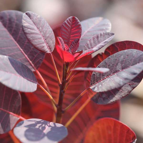 Roter Perückenstrauch Royal Purple