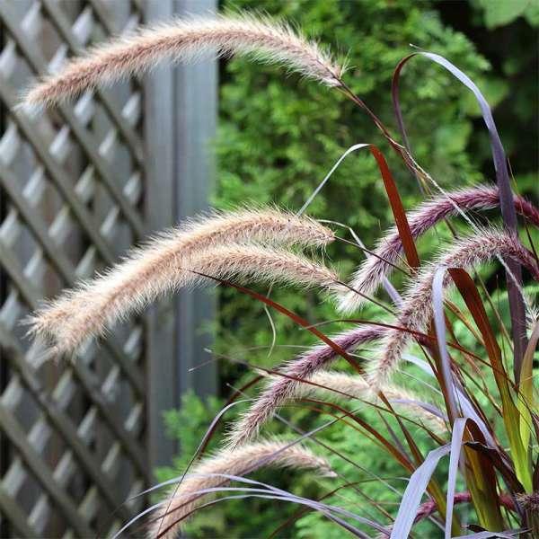 Rotes Garten-Federborstengras Rubrum