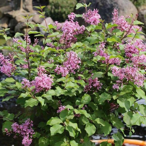 Zwerg-Duftflieder Flowerfesta Pink
