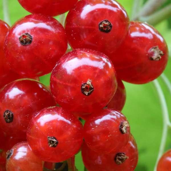 Ribes-rubrum-Red-Lake-D1
