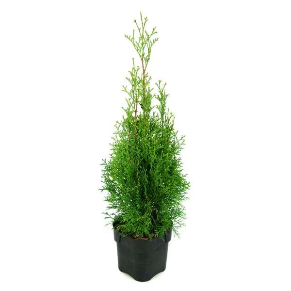 Lebensbaum-Thuja-occidentalis-Smaragd-C2