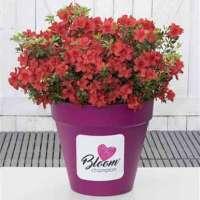 Azalee Bloom Champion Red