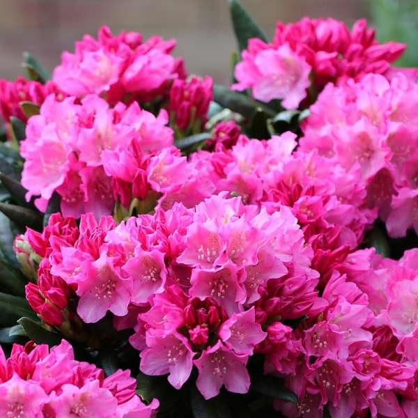 Rhododendron-yakushimanum-Kalinka-01