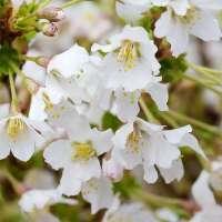 Gartenpflanzen Zierkirsche Kojou-no-mai