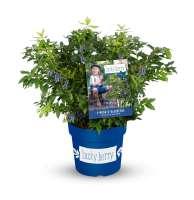 Pflanzen-Garten-Lucky-Berry