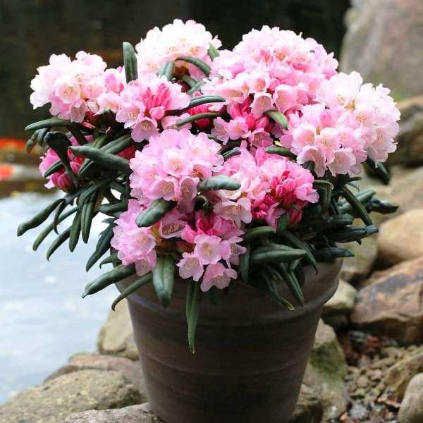 Rhododendron makinoi Makiyak Topf