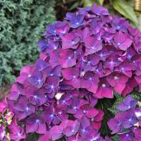 Bauernhortensie Deep Purple Dance