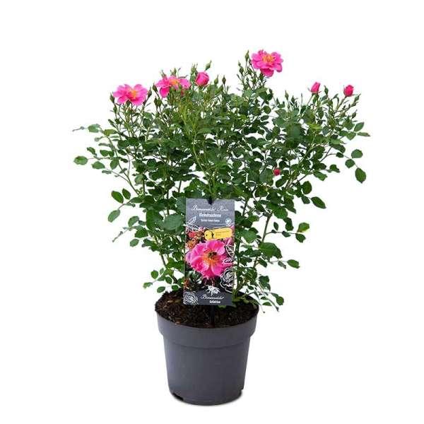 Beetrose Bienenweide Rosa