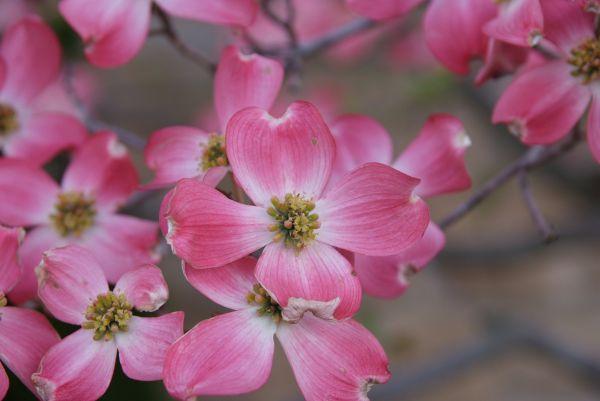 Amerikanischen Blumen-Hartriegel `Cherokee Brave´ | Alle Laubgehölze ...