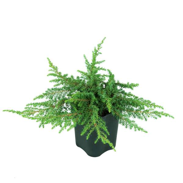 Wacholder-Juniperus-communis-Green-Carpet-C1-15-20
