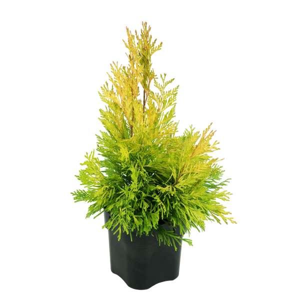 Lebensbaum-Thuja-plicata-4ever-Goldy-C2_3