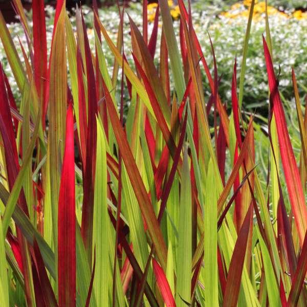 Japanisches-Blutgras-Imperata-cylindrica-Red-Baron-04