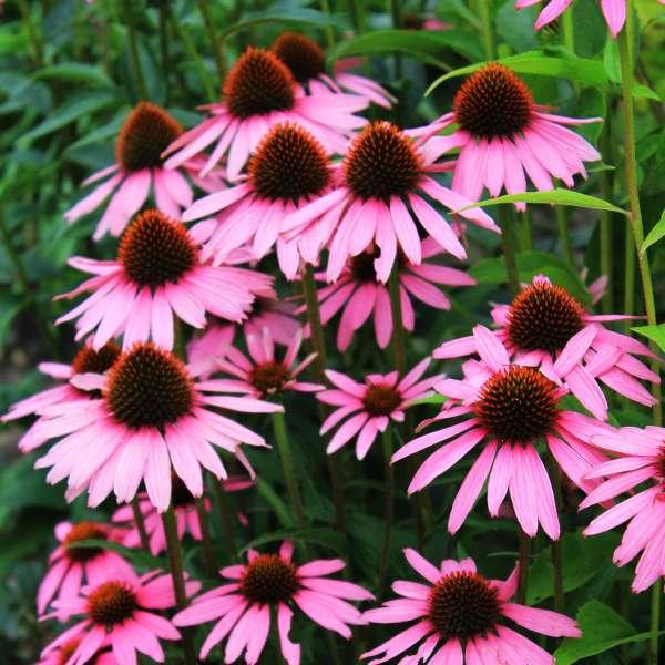 Sonnhut-Echinacea-purpurea-Leuchtstern-01